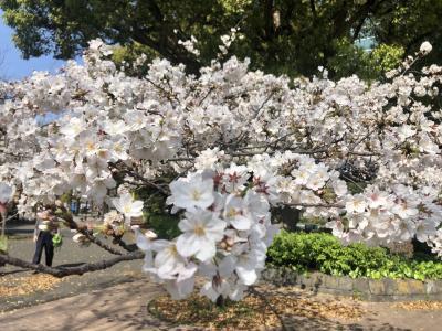 [速報] 芝公園、愛宕神社、増上寺の桜