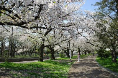 善福寺川緑地 まだまだ満開の桜