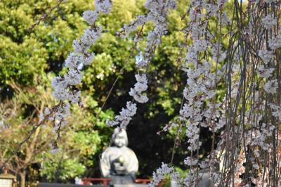 2020京都の桜 その1~西陣と御所まわり