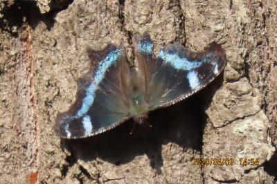 森のさんぽ道で見られた蝶⑦ルリタテハ、ツマキチョウ、キチョウ、モンシロチョウ