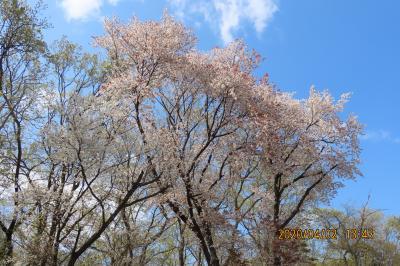 見ごろを迎えた森のさんぽ道の山桜