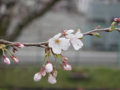 桜見物 2020.03.30 =2.厚原スポーツ公園=