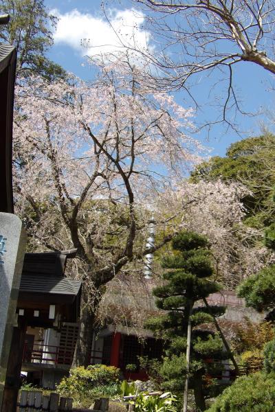 真福寺の枝垂れ桜