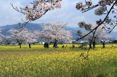 藤原宮跡の桜と菜の花 奈良県橿原市