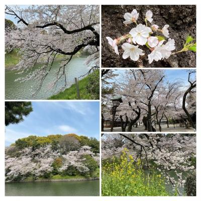 2020/4 外出自粛中でも散り始めでも圧巻の千鳥ヶ淵の桜