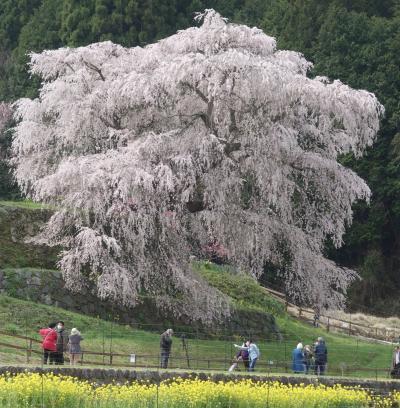 「又兵衛桜」を見て来ました。まさに,古武士の風格。すばらしい枝垂桜です。