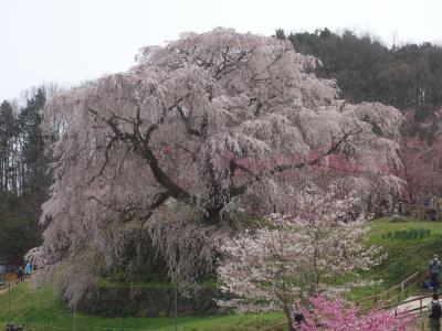 「又兵衛桜」を見て来ました。(その2)