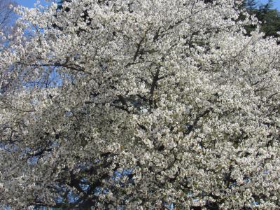 2020都内の桜(靖国、椿山荘、新宿御苑)