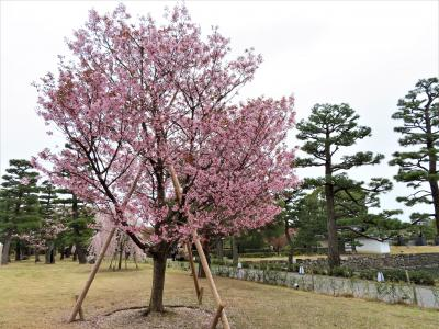 COVID-19対策の自主隔離を終えて☆京都最終日ー1 二条城で桜見物
