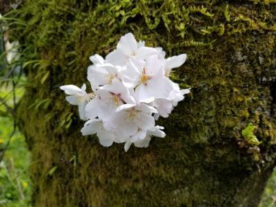 桜散歩「陶彩の径」