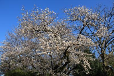 洗足池公園 お花見散歩 2020年3月
