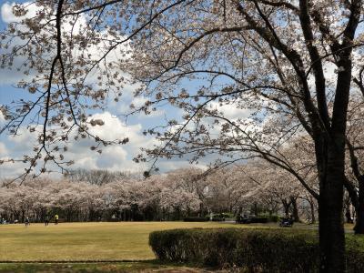 約1000本のソメイヨシノが満開の播磨中央公園