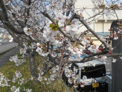せめて一人でひっそりと桜の写真を