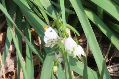 森のさんぽ道で見られた蝶⑧ツマキチョウ、ルリタテハ、キタテハ他