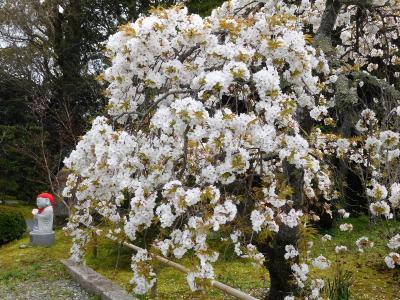 2020年4月 山口県・宇部市 宗隣寺に桜を見に行きました。龍心庭を見ました。