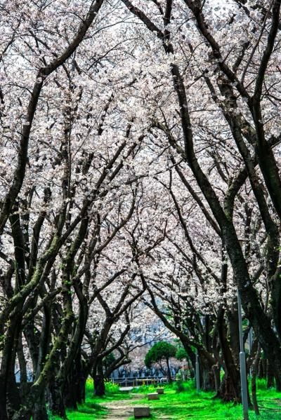 大分市の桜トンネル 2020