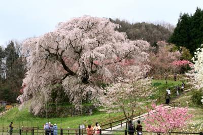 満開の又兵衛桜 (本郷の瀧桜)