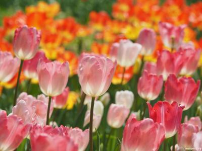 チューリップと桜を楽しみに@ガーデンネックレス横浜2020