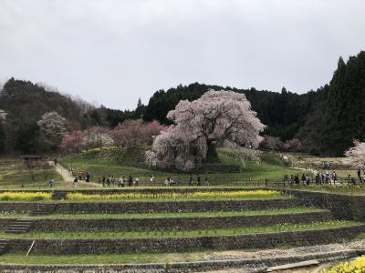 今年の桜は少し寂しい