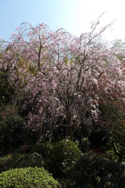 堀口家の紅枝垂れ桜は満開です