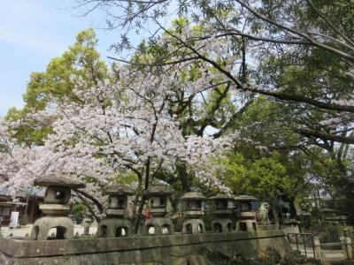 お買い物帰りに桜を見て帰ってきました。諏訪神社、中部公園、三滝通り。(2020年)
