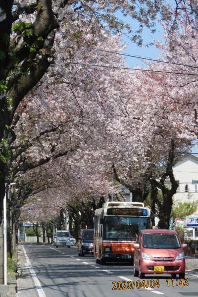 散り始めた桜トンネル