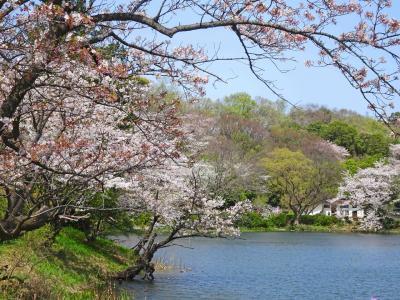 横浜・鶴見、三ツ池公園の桜