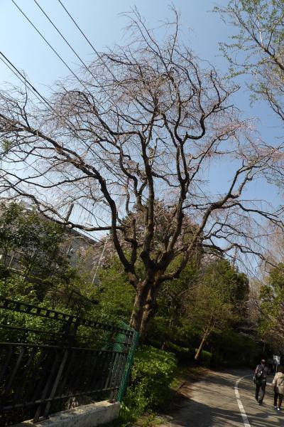 住友電工角の枝垂れ桜に台湾リス
