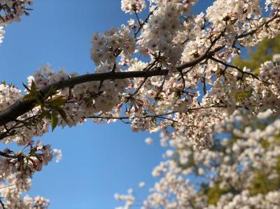二日続きの花見は二番目の孫のリクエストで兄の行った西公園と舞鶴公園でした。