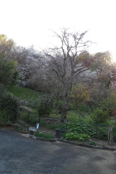 代田家の枝垂れ桜