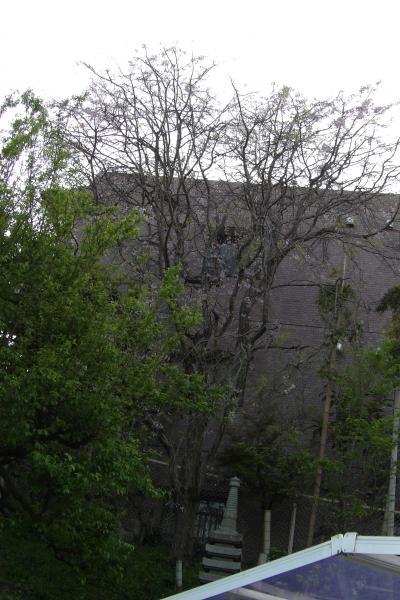 鈴木家の枝垂れ桜