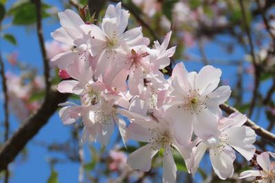 今年最後の冬桜を見る