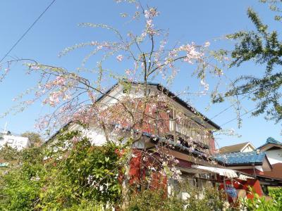 狭い敷地に植えられた枝垂れ桜の若木