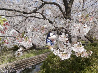 グーちゃん、せせらぎ緑道へ花見に行く!(グー散歩/鴨居とせせらぎ緑道の桜!編)