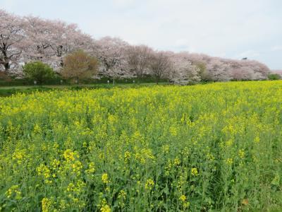三密を避け、車から桜を見よう ~栃木県南部編~