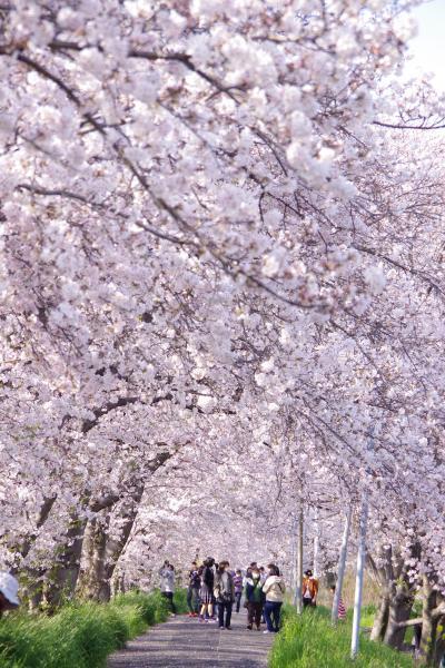 再・桜のトンネルで桜を愛でる@2020.4.4