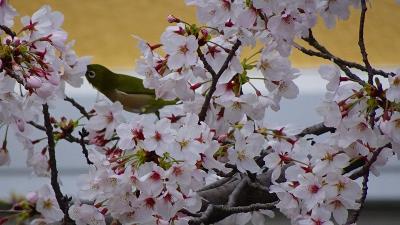 緑ヶ丘公園と瑞ケ池公園の花見をしてきました その2。