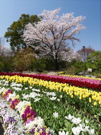 「あしかがフラワーパーク」の春の花まつり_2020_サクラ散り始め、チューリップ見頃終盤、でも綺麗です(栃木県・足利市)
