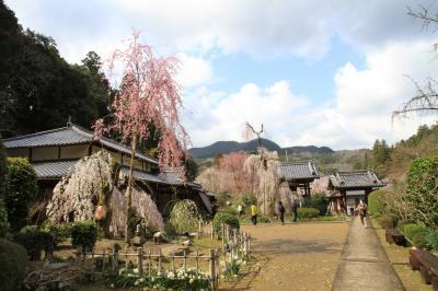 大野寺の小糸しだれ桜