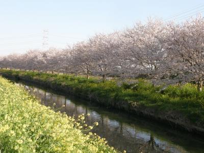 久喜市・加須市の桜の名所を早朝ウォーキングで楽しむ・・・久喜市鷲宮の桜並木