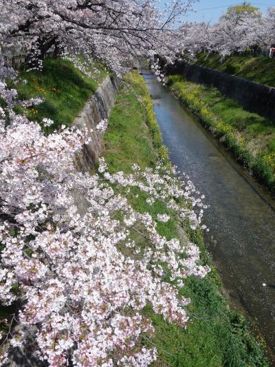山崎川の桜を見て来ました。リスキーな状況にかかわらず,結構な人出でした。