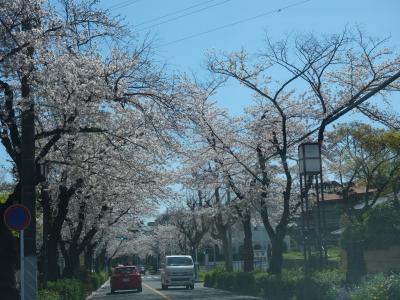 私の好きな桜のトンネル。秘密の裏道。静かに走る。