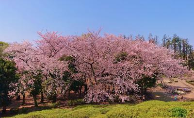 世田谷公園、林試の森公園などお花見散歩 2020年