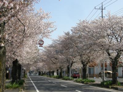 久喜市・加須市の桜の名所を早朝ウォーキングで楽しむ・・・加須市川口の桜並木