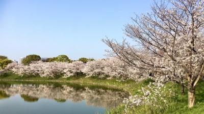 大阪 花博鶴見緑地 桜とチューリップ満開 お散歩