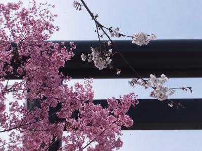 今年の桜は早かったですね。