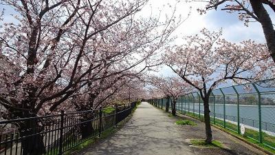 緑ヶ丘公園と瑞ケ池公園の花見をしてきました その7。