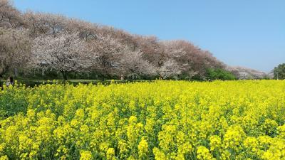 埼玉県幸手市の権現堂公園に桜と菜の花を見てきました。