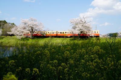 2020年いすみ鉄道菜の花と桜