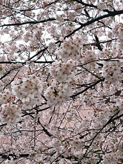コロナで花見ができないので、近所の小さな公園で一人花見